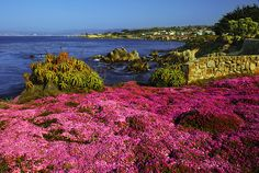 The coast of Pacific Grove, California is covered with the pinkish flowers every year. Attracting many sight seeers and photographers. Monterey County, Monterey Bay, Pacific Grove California, Pacific Coast, Wonderful Places, Beautiful Places, California Destinations, Beach Town, Travel Memories