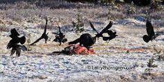Bildergebnis für chasing ravens