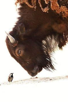 """LARGE Bison and Small Sparrow! Bison: """"I never thought I could get this close, to such a small bird! Nature Animals, Animals And Pets, Wild Animals, Beautiful Creatures, Animals Beautiful, Cute Baby Animals, Funny Animals, Mundo Animal, Tier Fotos"""