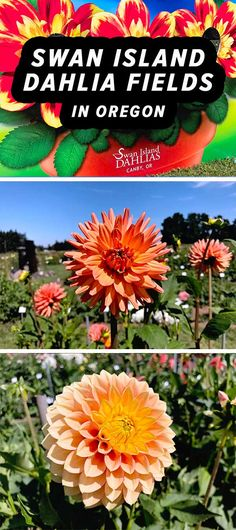 Flower Festival at Swan Island Dahlias in Canby, Oregon [VIDEO] Don't miss this! Voted one of Oregon's Best Attractions, Swan Island Dahlias in Canby, Oregon is one of the best must-see Portland day trips. Watch the video at . Voted one of Canby Oregon, Growing Dahlias, Flower Festival, Thing 1, Family Road Trips, Travel Aesthetic, Washington State, Day Trips, Travel Inspiration