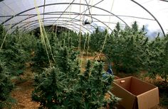 Plantaciones de marihuana en Euskadi