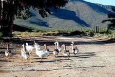 Farm Animals, West Coast, Poultry, South Africa, Landscape, Image, Art, Art Background, Backyard Chickens