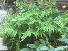 Autumn Ferns!