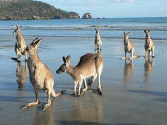 Cape Hillsborough,near Mackay Queensland Australia Day, Queensland Australia, Australia Travel, Australia Photos, Melbourne Australia, Airlie Beach, Australian Animals, Great Barrier Reef, Animals Of The World