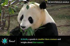 #animals #panda #facts