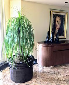 Indoor Plants: Pony-tail Palm Ponytail palms are a unique-looking, long-lived indoor plant that thrives on benign neglect. They are very easy to grow, provided you don't overwater them! Pony Tail Palm, Poster Pictures, Plant Care, Palms, Trees To Plant, Houseplants, Organic Gardening, Indoor Plants, Ponytail