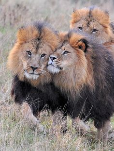 Lions, Posted By:MoreMore*