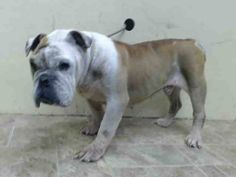 SUPER URGENT 10/5/14 Brooklyn Center   SPIKE - A1016243   MALE, CREAM, BULLDOG MIX,12 yrs STRAY - STRAY WAIT, NO HOLD Reason STRAY  Intake condition EXAM REQ Intake Date 10/03/2014, From NY 11385, DueOut Date 10/06/2014,  https://www.facebook.com/Urgentdeathrowdogs/photos/a.617942388218644.1073741870.152876678058553/881016005244613/?type=3&theater