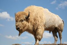 Apache - All About Bison Native American Music, Native American Images, Native American Indians, Native Americans, Buffalo Animal, Buffalo Art, Chow Chow, Buffalo Bulls, African Buffalo