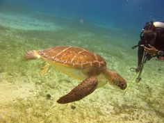 Explore diving in #jamaica with the underwater creatures #couplesresorts #turtle