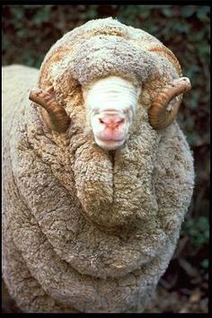 Merino ram. In the twelfth century, Spanish royalty began importing rams from the Beni-Merines, members of a Berber tribe in what is now Morocco. The Spanish crossed the rams with their own ewes; the result was a fine-wool sheep like no other. It changed the world of wool profoundly. Do you think he is handsome? http://www.zedhandmade.com/audaz.html