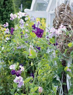 Hajuherne on kaunis kukkapenkissä, jossa se kasvaa parhaimmillaan korkeaksi, aidon luonnonkukan näköiseksi. Englanniksi hajuherneen nimi on osuvasti sweet pea, suloinen herne.