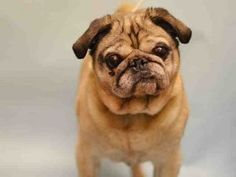 SUPER URGENT Manhattan Center BAXTER – A1101071 MALE, GRAY / TAN, PUG MIX, 12 yrs OWNER SUR – EVALUATE, NO HOLD Reason MOVE2PRIVA Intake condition GERIATRIC Intake Date 01/05/2017, From NY 10460, DueOut Date 01/05/2017