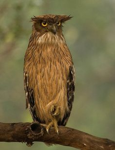 The brown fish owl