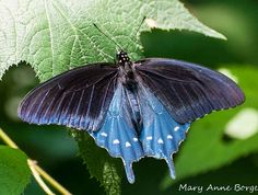 Dutch Pipevine Plant | Pipevine Swallowtail Butterflies and Their Host, Dutchman's Pipevine ...