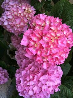 Hydrangea Plants for Sale- buy hydrangeas at wayside garden center. Check our rates- http://www.waysidegardencenter.com/pdf/2013-PRICE%20LIST-Hydrangeas.pdf