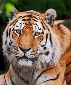 Nurejev the Siberian Tiger help save the tigers! I Love Cats, Big Cats, Beautiful Cats, Animals Beautiful, Animals And Pets, Cute Animals, Wild Animals, Save The Tiger, Mundo Animal