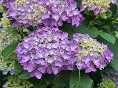 Hortensien durch Stecklinge vermehren - Mein schöner Garten