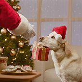 Puppy has a special gift for Santa. #Christmas #Labrador_Retriever