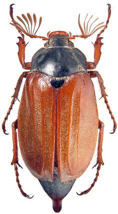 майский жук рисунок - Поиск в Google