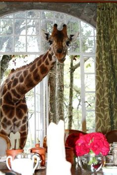 ♡♥A giraffe goes inside the house at Giraffe Manor in Nairobi, Kenya - click on pic to see a full screen pic in a better looking black background♥♡