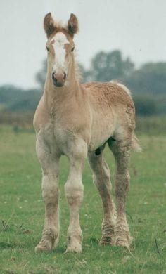 Draft horse - Zorge-- gonna be a big boy!