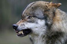 Wolf http://phototoartguy.com/post/102067424866/wilk-jest-wsciekly-wilk-jest-zly-wilk-ma-wielkie