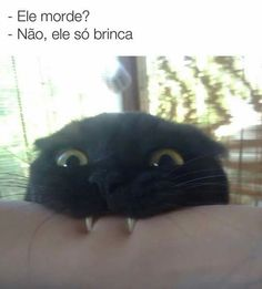 Karai ela tem o dracula! Funny Animal Memes, Funny Cats, Funny Animals, Cute Animals, Funny Memes, I Love Cats, Cute Cats, Chat Maine Coon, Funny Cat Pictures