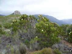 Common Protea (Protea repens) bush in Cape Town Nature Photography, Travel Photography, African Plants, Gardens Of The World, Protea Flower, Wildlife Nature, Biomes, Flora And Fauna, On Set