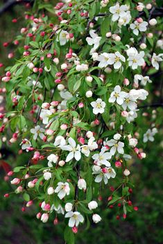 Malus 'Red Swan': Graceful cascades of deep pink buds, then pristine white blooms, flow down the branches of this weeping Flowering Crabapple in spring. Lovely red fruits in fall. Size: 6' tall x 8' wide in 10 years. Plant zones: 4-7. --Klehm's Song Sparrow Farm and Nursery--Woody Plants--