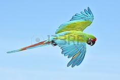 Sold today @123rf: Military #Macaw #ara #bird #animal #wildlife http://www.123rf.com/photo_39003886_military-macaw-in-flight-with-blue-skies-in-the-background.html