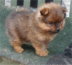 I want this little Teacup Pomeranian so bad!!  He's adorable!