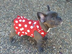 French Bulldog Puppy in a Red Polka Dot Dress, I'm speechless....; )