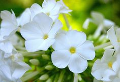 for the love of phlox