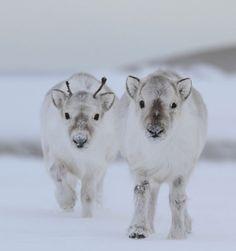 Winter Baby Reindeer