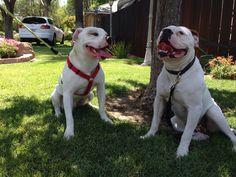 American bulldog Scott and Johnson