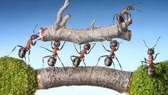"Buy the royalty-free Stock image ""Team of ants carry log on bridge, teamwork"" online ✓ All image rights included ✓ High resolution picture for print, we. Teamwork And Collaboration, Youth Group Activities, Movie Talk, Flipped Classroom, Cooperative Learning, Group Work, Educational Videos, Kids Videos, Team Building"