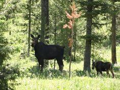 Momma & baby moose on Sawtelle Peak, Island Park Idaho
