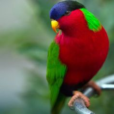 """Instagram'da BirdsofFiji: """"The collared Lory is a beautiful bird with red blue and green coloring. Usually about 20 cm long, and can live for around 7 years.…"""" Colorful Parrots, Colorful Animals, Colorful Birds, Tropical Birds, Beautiful Fish, Animals Beautiful, Gorgeous Gorgeous, Puffins Bird, World Birds"""