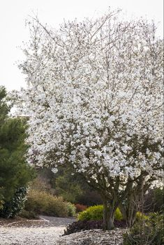 Monrovia's Royal Star Magnolia details and information. Learn more about Monrovia plants and best practices for best possible plant performance. Deciduous Trees, Trees And Shrubs, Trees To Plant, Garden Shrubs, Lawn And Garden, Garden Plants, Porches, Best Indoor Trees, Magnolia Stellata