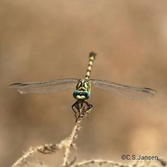 A Dragonfly, #dragonfly #dragonflies #libélulas #libellen #master_shots #macroparadise #macroworld_tr #smallworld_uc  #macroking #insect #insectlife #insect_photography #excellent_animals #macro_perfection  #macro_highlight #ptk_nature #kings_insects  #bns_insects #ig_naturepictures #nature_of_our_world #bsn_macro #outdoorlife #outdoor #ig_dragonflies #bestofcsjansen #outdoorwomen ©C.S.Jansen (Made with a Canon EOS 700D)