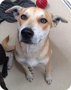 Bryan, TX - Shepherd (Unknown Type) Mix. Meet , a dog for adoption…