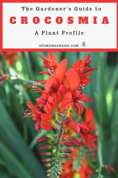 Crocosmia plants are the perfect addition to your summer garden. Learn how to care for your Crocosmia including crocosmia landscaping ideas, plant maintenance, and more in this plant profile! #plantprofile #crocosmia #crocosmiacare #crocosmialucifer #cottagegarden #flowers #spokengarden