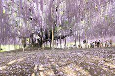 Ashikaga Flower Park Tokyo - Japan