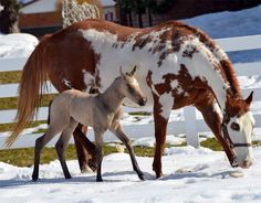 Paint mare and buckskin foal checking out the fresh snow.