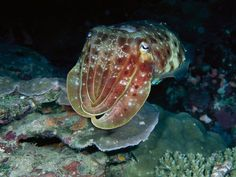 Cuttlefish Camouflage | Masters of Undersea Camouflage Photos -- National Geographic