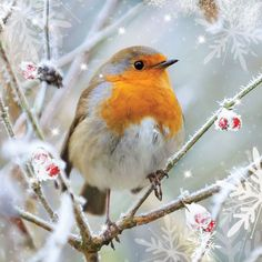 EUROPEAN ROBINS....aka English Robin, Robin, Robin Redbreast....live in the British Isles and across Europe, east to Western Siberia and south to North Africa....measure 5.0 – 5.5 inches long with a wingspan of 8 – 9 inches