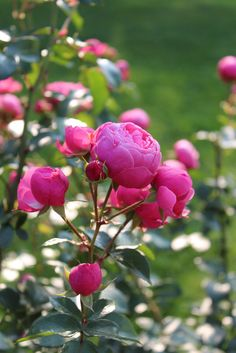 'Pomponella' |FL rose. Bred by W. Kordes & Sons (Germany, 2005).  | Flickr - © Lilja Sirpale