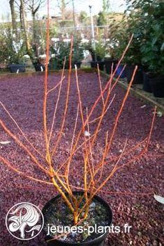 Salix alba var.vitellina 'Chermesina' - Saule à bois dore