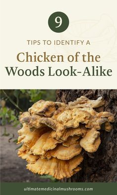 If you're familiar with Chicken of the Woods Mushroom, you know that it's a tasty variety that is easily spotted in the wild. Or if you haven't tasted this one yet, be sure to look it up next time you'll go out mushroom hunting. And to help you avoid getting the impostors, here are 9 tips to identify Chicken of the Woods look-alike. | Discover more about medicinal mushrooms at ultimatemedicinalmushrooms.com #mushroomidentification #growingmushrooms #medicinalmushroom Mushroom Identification, Chicken Of The Woods, Mushroom Hunting, Growing Mushrooms, Look Alike, Stuffed Mushrooms, Tasty, Breakfast, Tips